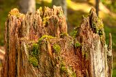 Stump with moss in forest.