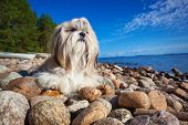 Shih-tzu dog lying on lake shore on stones. Wide angle view.
