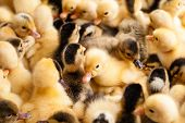 Crowd Of Small Ducklings On Farm