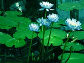 picture of water lily  - Blue water lilies  - JPG