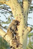 foto of anubis  - A young olive baboon Papio Anubis climbing a tree - JPG
