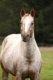 picture of appaloosa  - Potrait of beautiful appaloosa mare in autumn - JPG