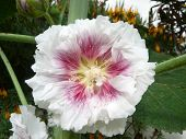 stock photo of hollyhock  - white and pink Alcea hollyhock flower in bloom in early spring - JPG
