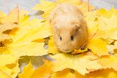 image of guinea pig  - golden guinea pig in yellow maple leaves - JPG