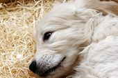 pic of golden retriever puppy  - Little cute Golden Retriever puppy lying on straw - JPG