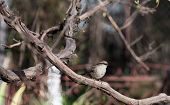 picture of mockingbird  - Close up of a sparrow in a tree - JPG
