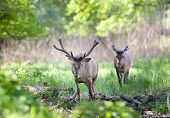 picture of antlers  - Two red deer with growing antlers walking on fresh green grass in forest on sunny spring day - JPG