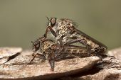 Mating Robber Flies