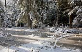 stock photo of wetland  - Snowfall after wetland stand in morning with snow wrapped trees and frozen water around Bialowieza forestPolandEurope - JPG