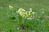 stock photo of cowslip  - Cowslip  - JPG