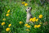 pic of meerkats  - Meerkat on watch in green grass with dandelions - JPG