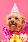 foto of dog birthday  - Birthday dog with chains and hat on pink background - JPG