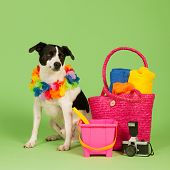 image of cross-breeding  - Black and white cross breed dog on vacation at green background - JPG