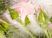 stock photo of rose bud  - beautiful abstraction of the gentle bouquet of flowers and buds of roses frozen in water with air bubbles - JPG