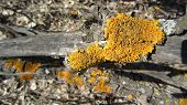 foto of lichenes  - Yellow lichen colony on a tree bark nature details - JPG