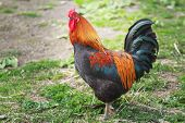 picture of rooster  - Adult of different colors rooster is standing on farmyard  - JPG