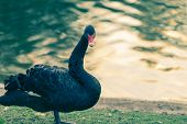 foto of black swan  - A black swan in the river at St James Park - JPG