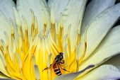 stock photo of water bug  - Bee on water lily close up shot