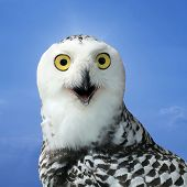 stock photo of snow owl  - closeup of snow owl with nature background - JPG