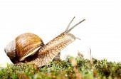 picture of mollusca  - Macro of Burgundy snail  - JPG
