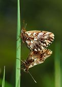 picture of mating  - Macro of butterfly mating on grass blade low angle view - JPG