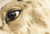close up of an appaloosa horse`s face.