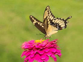 picture of zinnias  - Papilio cresphontes - JPG