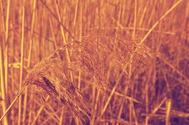 foto of dry grass  - Yellow Dried Grass by the River Autumn dry grass background Selective focus - JPG