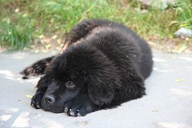 pic of newfoundland puppy  - Cute puppy of Newfoundland dog loafing on the street - JPG