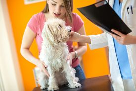 picture of maltese  - Girl holding her sick Maltese dog during the examination in vet infirmary - JPG