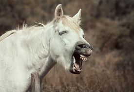 picture of headstrong  - Funny white horse neighing to the camera - JPG
