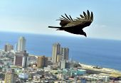 The American Vultures (cathartidae Lafresnaye) Soars Over Havana Cuba. poster