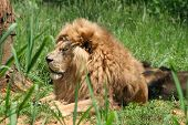 Lions 17
