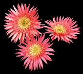 Three Red Gerbera Flowers