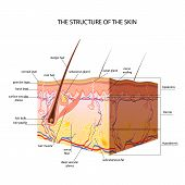 Постер, плакат: The anatomical structure of the skin