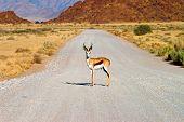 Male Springbuck in Namibia