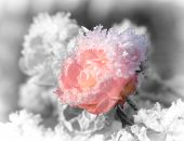 Ice On Roses.