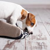 Puppy gnawing at home slippers. Naughty pet poster