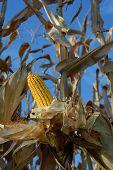 Harvest Ear 1
