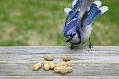hungry blue jay and his peanuts