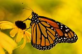 stock photo of butterfly flowers  - A beautiful monarch butterfly  - JPG