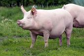 Beautiful Young Sow Pig Posing On Summer Pasture poster