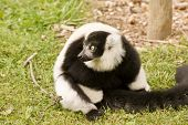 Black And White Ruffed Lemur In Captivity