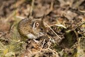 Wild Wood Mouse Resting On The Forest Floor poster