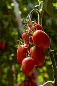 stock photo of tomato plant  - Plum tomatoes on plant in a greenhouse - JPG