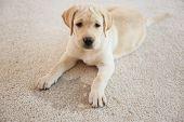 Cute puppy lying on carpet near wet spot poster