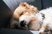 Sleeping Dog Portrait Of Shih Tzu Mix - Snout, Nose And Hairs In Macro Detail poster