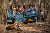 Showstopper A Wild Male Bengal Tiger Sitting On Road And In Background Safari Vehicles Sighting This poster