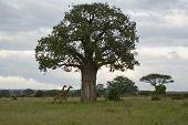 Boabab And Giraffe