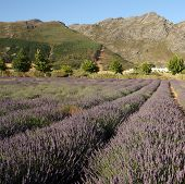 Lavender field in South Africa
